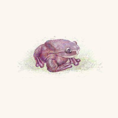 Rabbs-Fringe-Limbed-tree-frog-by-Mark-Lerer