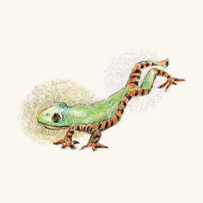 Tiger-leg-monkey-tree-frog-by-Mark-Lerer