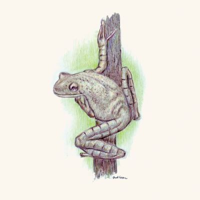 flat-head-bromeliad-tree-frog-by-Mark-Lerer